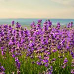Slide - relaxing-lavender-field
